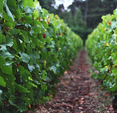 Vignes de Aÿ-champagne